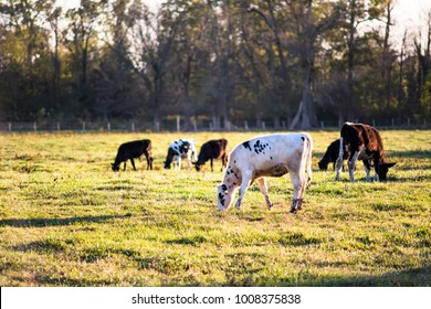 Black and white young cows, calves closeup grazing on pasture, green grass, spots in Virginia farms countryside meadow field at sunset with soft light