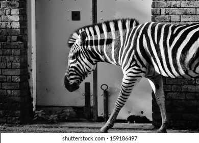 Black and white zebra abstract stock photo against wall of house stable animals  profile duo tone -  stock photograph, image, picture, stock, photo,