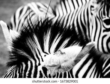 Black and white zebra ears