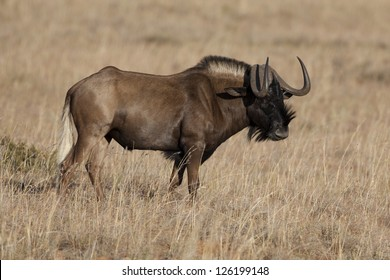 Black or white-tailed wildebeest, Mountain Zebra National Park, South Africa