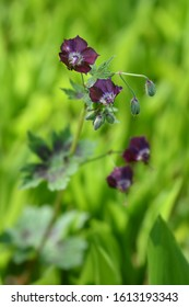 Black widow - Latin name - Geranium phaeum