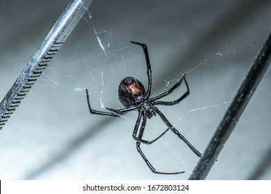 Black Widow Spider Up Close In Home