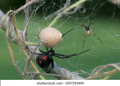 Black Widow Spider -Female, male and egg sac