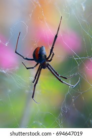 Black Widow Spider also known as red back spider live on web isolated on colourful out of focus background