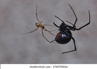 Black widows have poor eyesight but exquisit tactile sense. Before mating, the male carefully approaches the females. After repeated contact and exploration of her body, he mates with her.