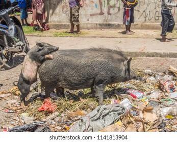 Black wild boars (pigs) on the bazaar in Wamena. West Papua, Indonesia, Korowai and Dani tribe expedition. The Korowai, also called the Kolufo.