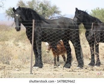 Black wild horses in quiver tree forest near to Keetmanshoop Namibia