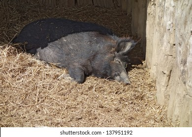Black wild swine, sleeping in straw