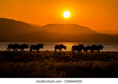 Black wildbeest on the edge of a lake, silhouetted against a golden setting sun. Africa