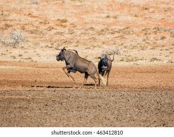 Black Wildebeest jumping in savanna in Southern Africa