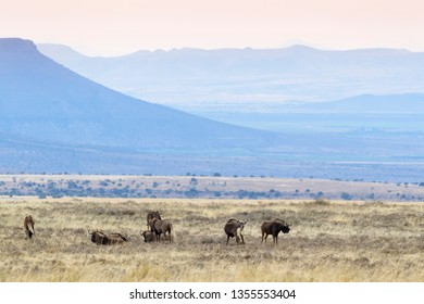 Black Wildebeest or White-tailed Gnu (Connochaetes gnou), herd standing in grassland, Mountain Zebra National Park, South Africa,