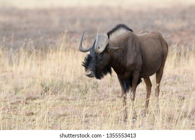 Black Wildebeest or White-tailed Gnu (Connochaetes gnou), adult, Mountain Zebra National Park, South Africa,