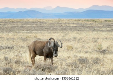 Black Wildebeest or White-tailed Gnu (Connochaetes gnou), adult standing on savanna, Mountain Zebra National Park, South Africa,
