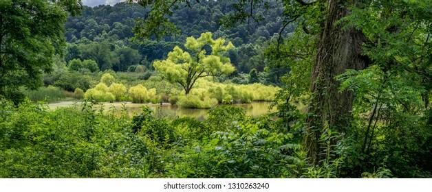 Black willow (Salix nigra)--light green in photo--growing in wetland in Augusta Springs Natural Area in Augusta, Virginia.