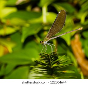 Black wing and green eyes damselfly rest on plant