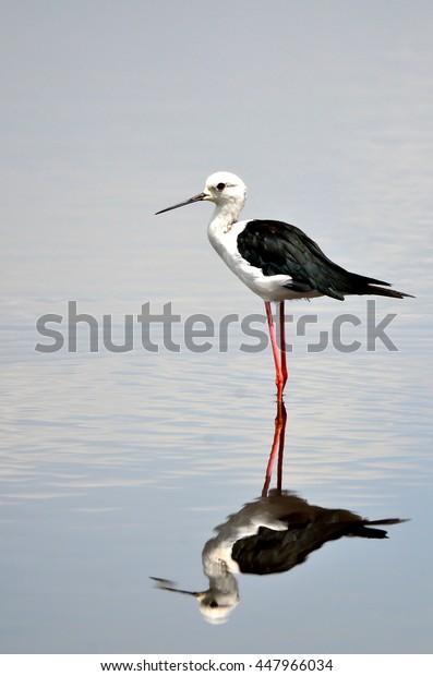black winged stilt