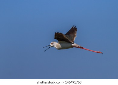 black winged stilt (Himantopus himantopus) in flight. Danube Delta, Romania