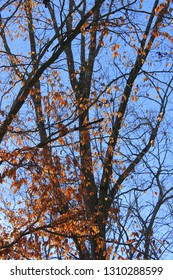 Black winter tree limbs entwined, some still covered in flaming orange leaves lit up but the sun against a deep blue sky on Hartwell Lake in South Carolina.