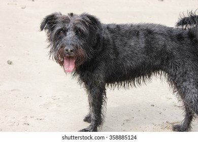 Black wire haired terrier dog with tongue out on sandy beach