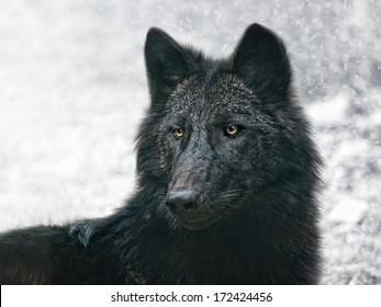 1000 Black Wolf Stock Images Photos Vectors Shutterstock