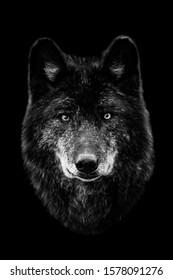 Black wolf with a black background