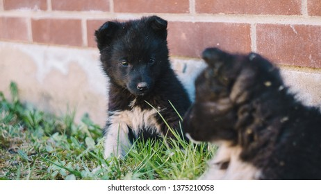 The black wolf (Canis lupus) also known as the timber wolf, western or simply wolf. Young wolf puppies in green grass near red brick wall fence. Friendly grey dogs brothers.