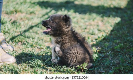 The black wolf (Canis lupus) also known as the timber wolf, western or simply wolf. Young wolf puppies in green grass near girl feet. Friendly grey dog enjoying sun lights and playing.
