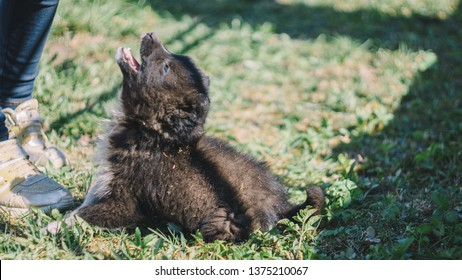 The black wolf (Canis lupus) also known as the timber wolf, western or simply wolf. Young wolf puppies in green grass. Friendly grey dog enjoying sun lights and playing.