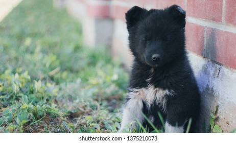 The black wolf (Canis lupus) also known as the timber wolf, western or simply wolf. Young wolf puppies in green grass near red brick wall fence. Friendly grey dog sleeping.
