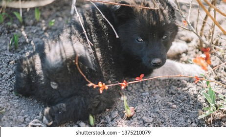 The black wolf (Canis lupus) also known as the timber wolf, western or simply wolf. Young wolf puppies in green grass. Friendly grey dog sleeping.