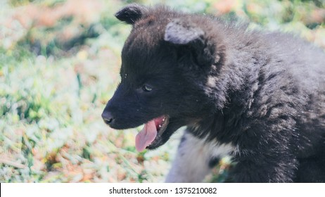 The black wolf (Canis lupus) also known as the timber wolf, western or simply wolf. Young wolf puppies in green grass near red brick wall fence. Friendly grey dog enjoying sun lights and playing.