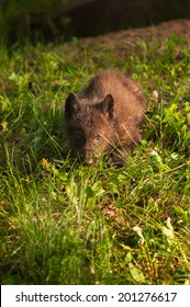 Black Wolf (Canis lupus) Pup in Grass - captive animal