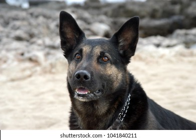 black wolf dog looking straight