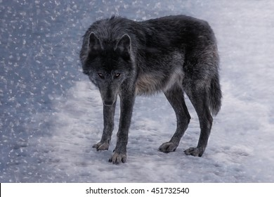 The Black Wolf, female