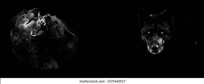 Black wolf fighting with a black background