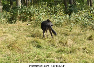 A black wolf in a forest woods standing looking back as it's walking away.