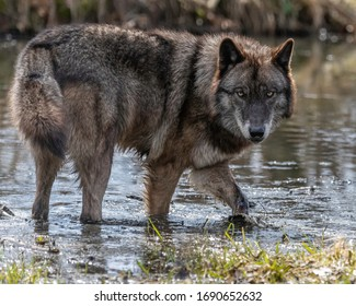 black wolf images stock photos vectors shutterstock https www shutterstock com image photo black wolf photos springtime midwest 1690652632