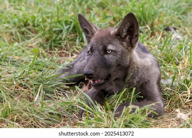 Black Wolf Puppy Close Up
