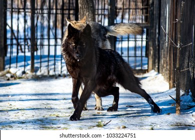 black wolf in the snow in a cage