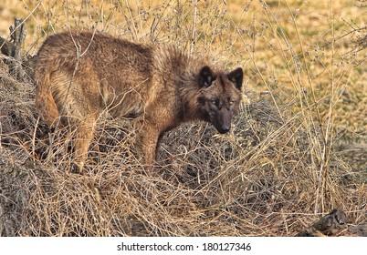 Black wolf standing in grass
