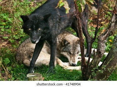 A black wolf standing over another wolf from the pack.
