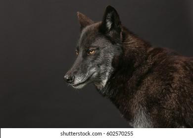 black Wolf studio shot with black background