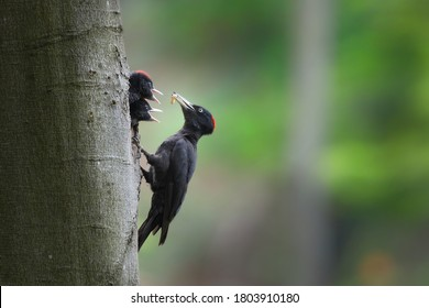Black woodpecker, dryocopus martius, mother feeding chicks on tree in forest. Two young birds with black feather peeking from nest. Wild animal with dark plumage and red head holding worn in beak in