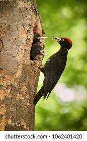 Black woodpecker (Dryocopus martius)  with two youngs in the nest hole. Wildlife scene from Czech forest.