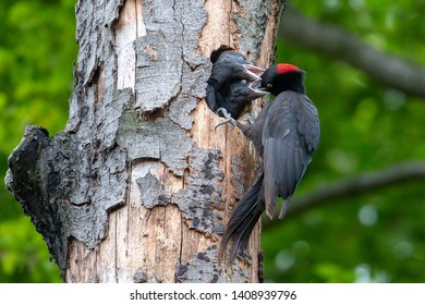 Black woodpecker feeds her two young woodpeckers. Two young black woodpeckers fight over eating their young.