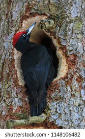 Black woodpecker hollowing out the tree trunk in search of the food