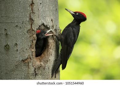 Black woodpecker oin nest cavity