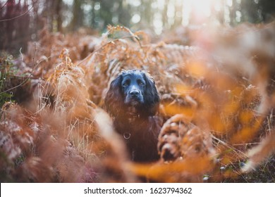 Black Working Cocker Spaniel Dog sitting in Brown Woodland Bracken Ferns. Gun Dog Training in Autumn Woods
