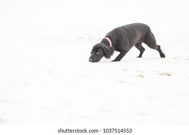 Black working cocker spaniel having fun in the snow, running and getting her nose down, picking out scents even in the frozen conditions.