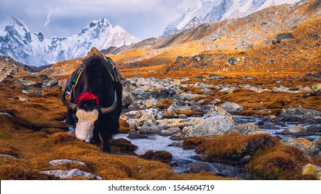 Black yak in alpine mountains. Himalayan big yak in beautiful landscape. Hairy cattle cow wild animal in nature. Sunny winter day, yak face - wildlife concept. Farm animal in Nepal & Tibet